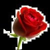 thumb_Rose